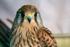 Closeup of a brown peregrine falcon with black spots